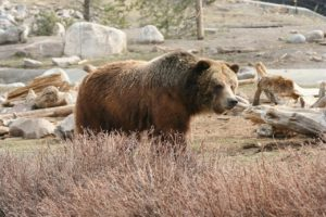 yellowstone-grizzly-386340_1280